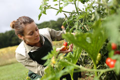 Kneeling woman picking up tomatoes from garden Royalty Free Stock Image