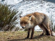 Knepig röd räv (Vulpesvulpesen) royaltyfria bilder