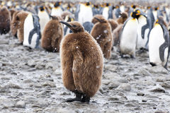 Kng penguin chick in fornt of a group of penguins stock photos