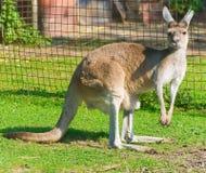 känguru Fotografering för Bildbyråer