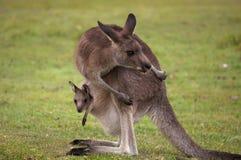 Känguru-Mama mit einem Schätzchen Joey in der Tasche Stockfotos