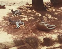 känguruhs Stockfoto
