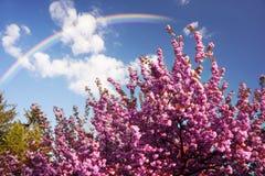 Kniaź Sakura w Carpathians Obraz Stock
