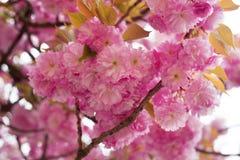 Kniaź Sakura w Carpathians Zdjęcie Royalty Free
