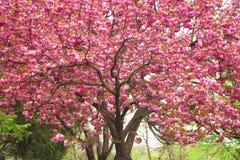 Kniaź Sakura w Carpathians Zdjęcie Stock