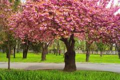 Kniaź Sakura w Carpathians Fotografia Stock