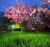 Kniaź Sakura w Carpathians Zdjęcia Stock
