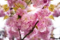 Kniaź Sakura w Carpathians Obraz Royalty Free
