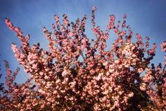 Kniaź Sakura w Carpathians Obrazy Royalty Free