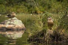 Knickente zwei, auf Felsen und im Nest, Adirondacks, New York Lizenzfreies Stockbild