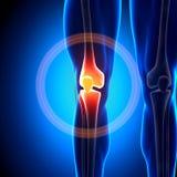 Knie - Anatomiebeenderen Stock Foto's