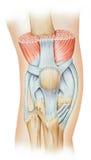 Knie - Streckmuskel-Mechanismus lizenzfreie abbildung