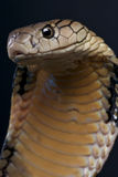 König Kobra Lizenzfreies Stockfoto