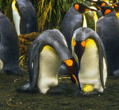 König Penguins mit Ei Stockfotos