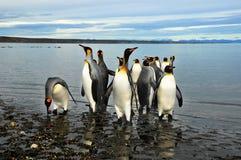 König Penguins in Südamerika Lizenzfreie Stockfotos