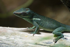 Knight Anole Royalty Free Stock Photo