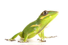 Knight Anole Royalty Free Stock Image