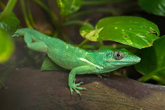 Knight anole Anolis equestris Royalty Free Stock Photography
