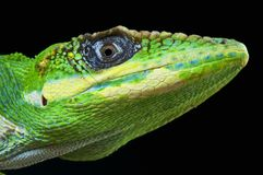 Knight Anole / Anolis equestris stock photo