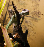 Knight anole Royalty Free Stock Photos