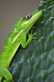 Knight Anole Cuban Anole stock photos