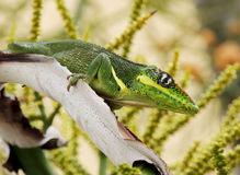 Knight Anole Cuban Anole royalty free stock images