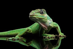 Knight anole lizard on Isolated Black Background stock photos