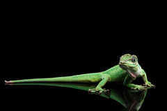 Knight anole lizard on Isolated Black Background royalty free stock images