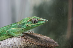 Knight anole Stock Images