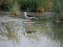 Knight of Italy. The symbol of Delta Po national Park in Comacchio lagoons, Italy stock photos