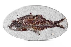 Knightia Fossil Fish Stock Images