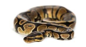 Königliche Pythonschlange, Pythonschlange königlich, lokalisiert Lizenzfreies Stockfoto