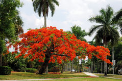 Königlicher Poinciana Baum Lizenzfreies Stockfoto