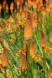Kniphofia. Attractive blossom of a Kniphofia Royalty Free Stock Photo