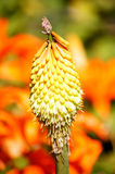 Kniphofia on a bright background. Royalty Free Stock Photography