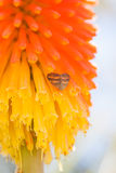 Kniphofia and butterfly. Inflorescence Kniphofia also called tritoma Royalty Free Stock Image