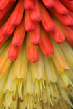 Kniphofia close up Royalty Free Stock Photos