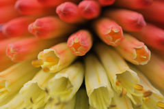 Kniphofia close up Stock Images