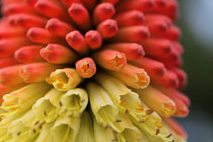 Kniphofia close up Royalty Free Stock Image