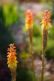 Kniphofia Royalty Free Stock Photo
