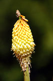 Kniphofia on a dark background. Stock Photo