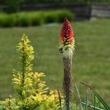 Kniphofia flower Stock Image