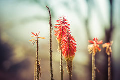 Kniphofia flowers Stock Photography