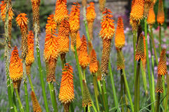 Kniphofia flowers Royalty Free Stock Images