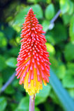 Kniphofia northiae Flower Royalty Free Stock Photos