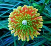 Kniphofia / Red Hot Poker from Above Stock Photos