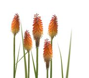 Kniphofia or Red Hot Poker flowers. Isolated on white background Royalty Free Stock Photos