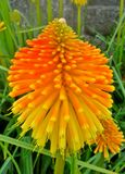 Kniphofia / Red Hot Poker 2. Kniphofia / Red Hot Poker in the garden Royalty Free Stock Images