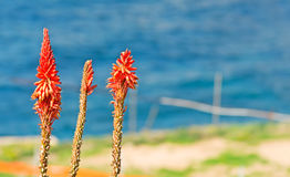 Kniphofia and sea Royalty Free Stock Photography