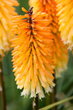 Kniphofia triangularis (Dwarf Red Hot Poker) - beautiful flowers Royalty Free Stock Image